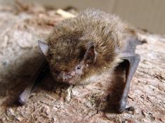 Bats (our flying mammals!)
