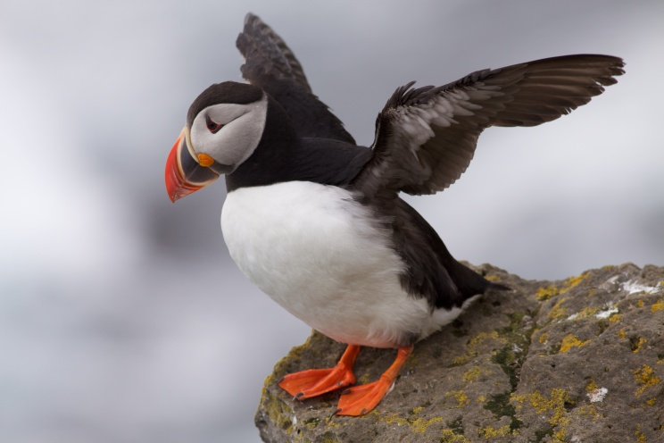 "Birds (even puffins, aka ""sea parrots"")"