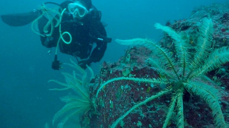 Angela diving with her favourite BC biodiversity, feather star Florometra seratissima (c) Jenn Burt