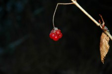 Highbush Cranberry (Photo: Robin Willis, Flickr)
