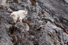 Mountain goat (Photo: Marty Mellway, Flickr)