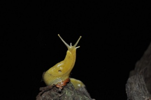Banana Slug (Photo: Ryan Kenny, Flickr)