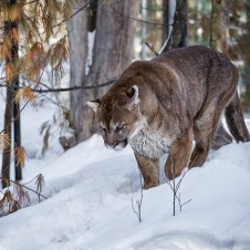 Cougar (Photo: Diane Hammond)