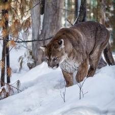 Cougar (Photo: Diane Hammond)