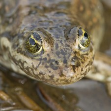 Precious Frog (Photo: from www.preciousfrog.ca)