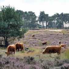 Schotse hooglanders en heide (Photo: unknown)