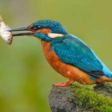 Ijsvogel (Kingfisher) (Photo: from Picuki.com)